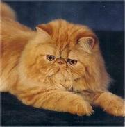 Gato-persa.jpg