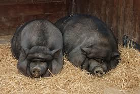 File:Pig 3.jpg