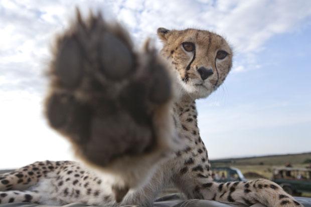 File:Personal Spetsnaz Cheetah CheetahPaw.jpg