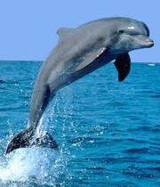 Delphin-- Dolphin