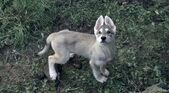 Direwolf-puppy
