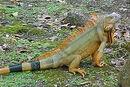 Orange-iguana