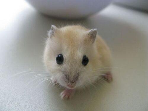 Maple Hamster