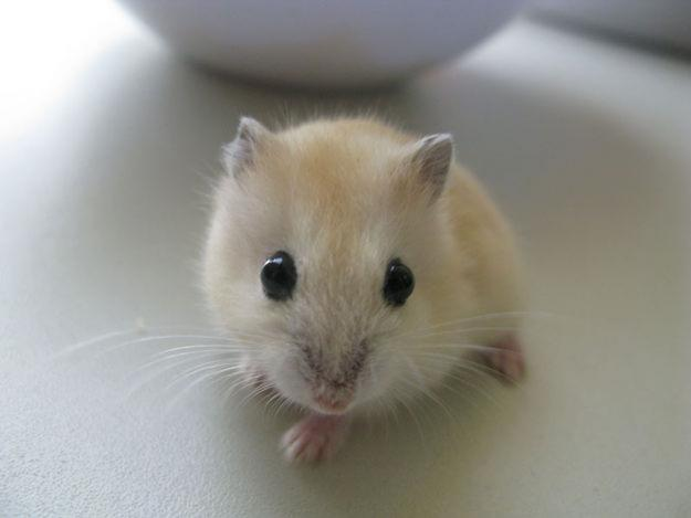 File:Maple Hamster.jpg