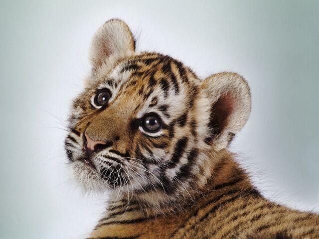 File:Tiger cub.jpg