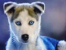 File:Husky Pup.jpg