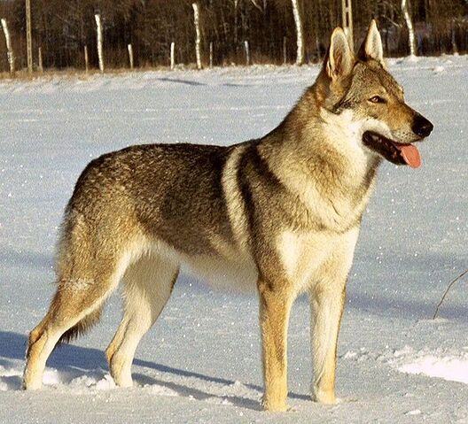 File:Czechwolfdog.jpg