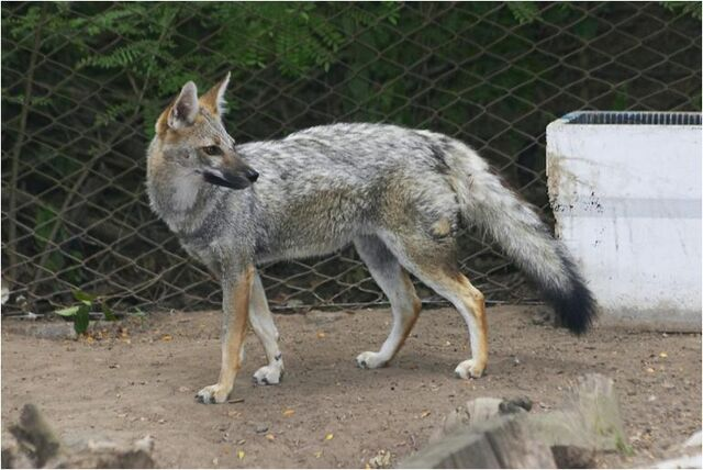 File:Caninefreeusepampasfox.jpg