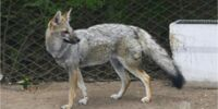 Pampas Fox(Azara's Fox)
