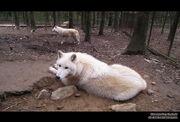 Hudson Bay Wolf by Ela chan7