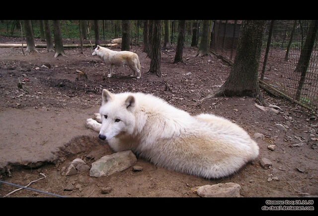 File:Hudson Bay Wolf by Ela chan7.jpg