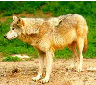 File:Monwolf.png