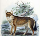Warrah(Falkland Islands Fox) (Extinct)