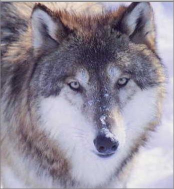 File:Maniwolf.png