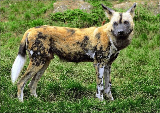 File:Caninefreeuseafricanwilddog.jpg