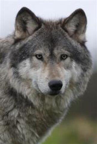 File:Wolfdog.jpg