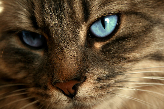 RealBlue-eyedcat