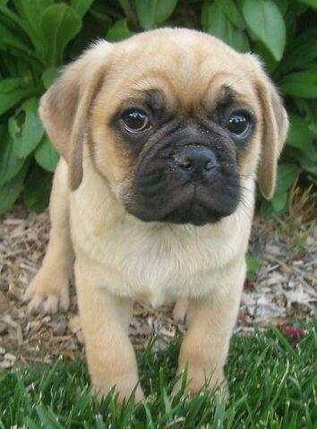 File:Puggle puppy 2.jpg