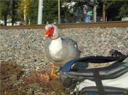 Cinderfella the Duck