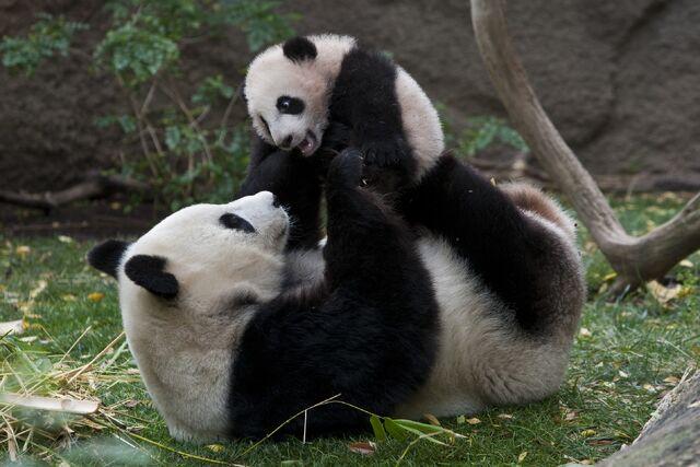 File:Panda yunzi baiyun.jpg