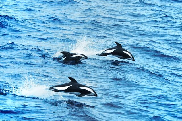 File:Hourglass dolphins.jpg