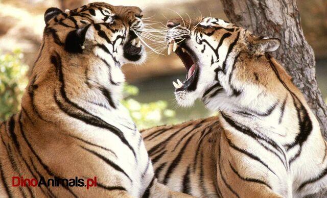 File:DinoAnimals - Wielkie koty20.jpg