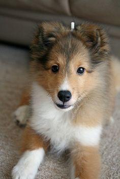 File:Sheltie pup .3..jpg