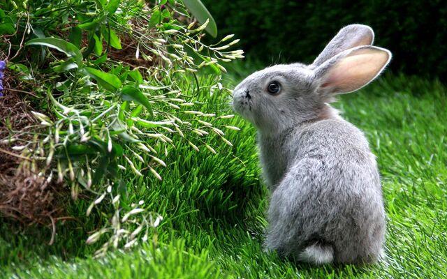 File:Domestic rabbit European rabbit widescreen wallpaper.jpg