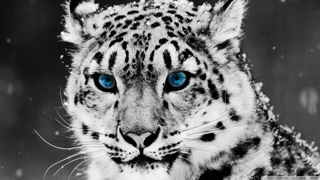 File:Snow leopard black and white portrait-wallpaper-1920x1080.jpg