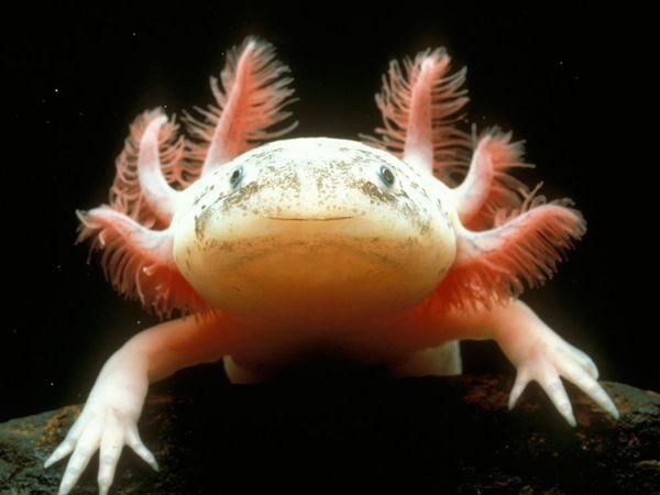 File:Axolotl.jpg