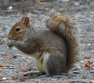 File:Squirrel-gray.jpg