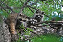 800px-Three raccoons in a tree