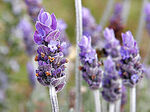 220px-Single lavendar flower02