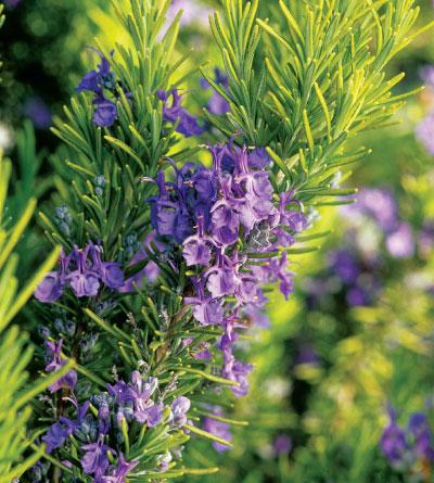 File:Rosemary.jpg