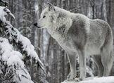 White-wolf-big