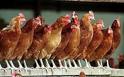 File:RIR hens roosting.jpg