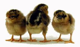 Single comb brown leghorn chicks