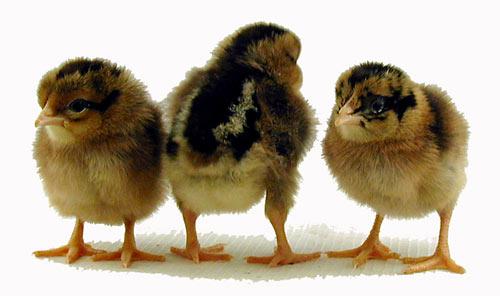File:Single comb brown leghorn chicks.jpg
