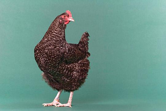 File:Barred maran hen.jpg