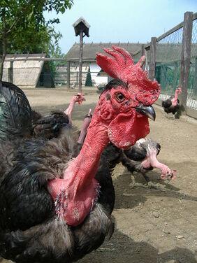 Naked Neck flock
