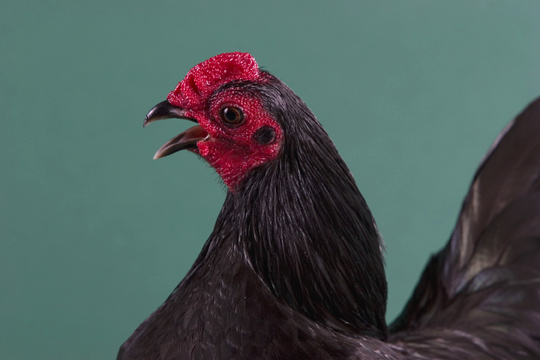 File:Rooster.jpg