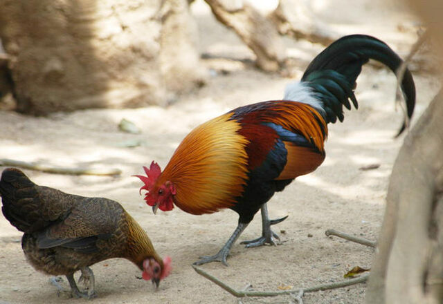 File:Jungle fowl rooster and hen eating.jpg