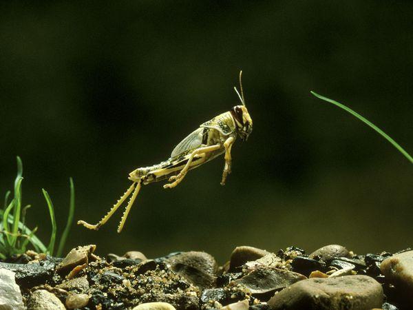 File:Locusts.jpg