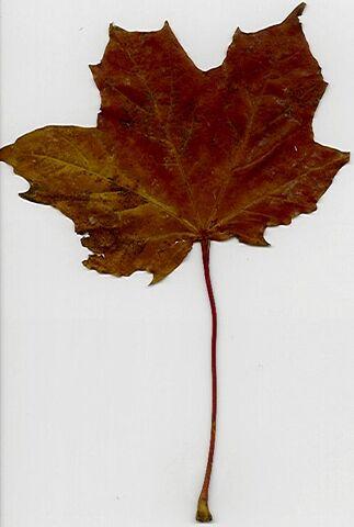 File:Leaf2.jpg