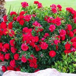 File:Quiz rosebush.jpg