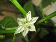 Bell Pepper (Quadrato d'Asti Giallo) Flower