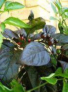 Black pearl cultivar
