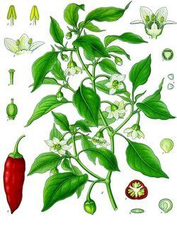 Capsicum annuum - Köhler–s Medizinal-Pflanzen-027