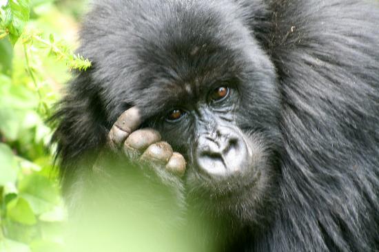 File:Mountain-gorilla-of-rwanda.jpg