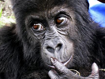 File:Gorilla 432 crossroads.jpg